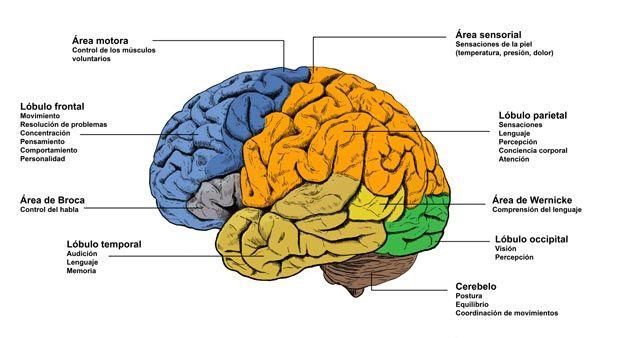 Parte del cerebro que controla el movimiento y el equilibrio es la