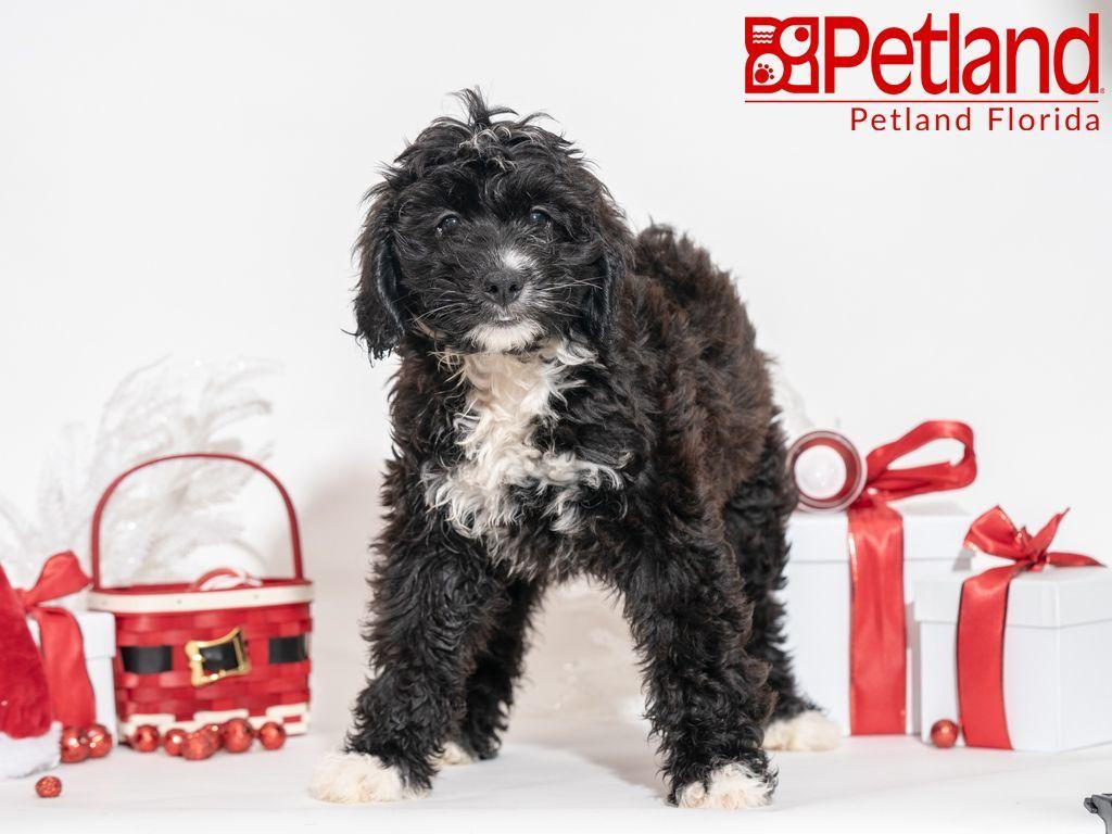 Petland Florida has Mini Bernedoodle puppies for sale