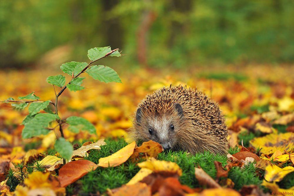 igel im herbst hedgehog in autumn autumn colors. Black Bedroom Furniture Sets. Home Design Ideas