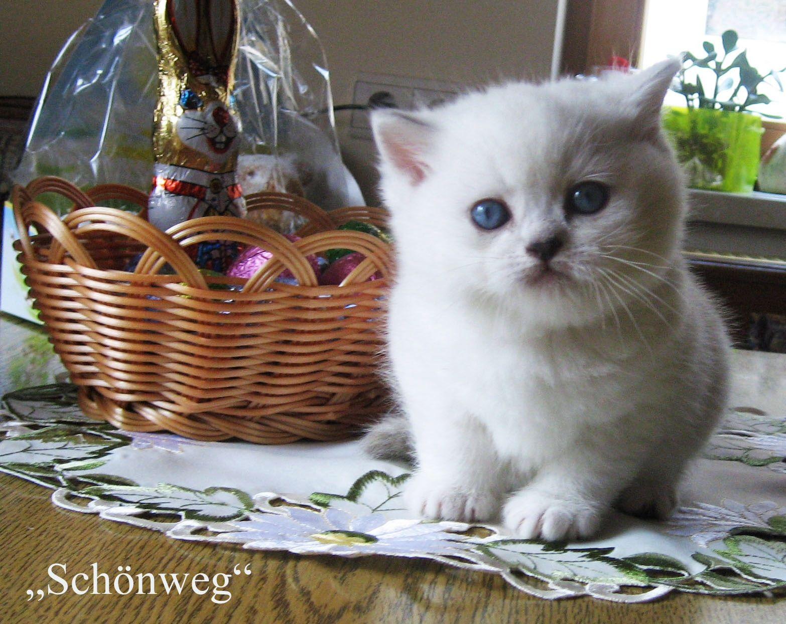 Schonweg Kitten