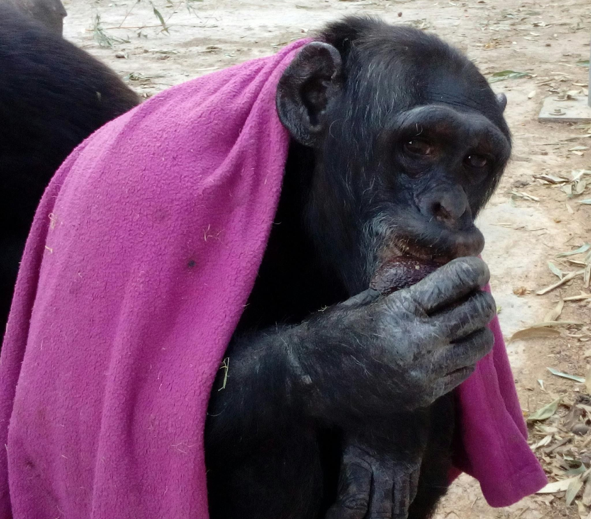 Pin By Kelly Sheridan On Chimpanzees
