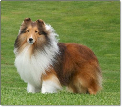 Beautiful Reminds Me Of Lassie My Favorite Show Growing Up Kiss Kiss Puppies Shetland Sheepdog Dogs E Collie Dog