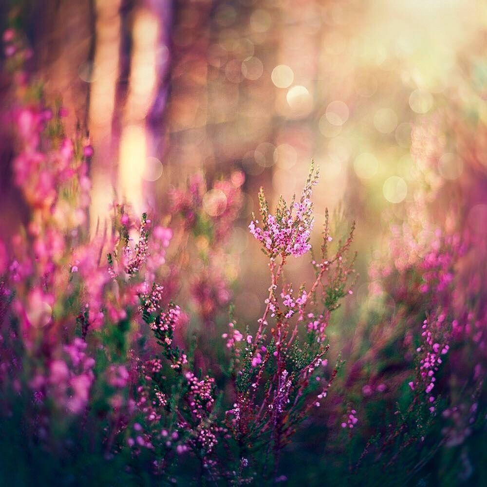 Heather Norway S National Flower In Bloom By Anna Cornflowertint On Instagram Heather Flower Flowers Flower Aesthetic