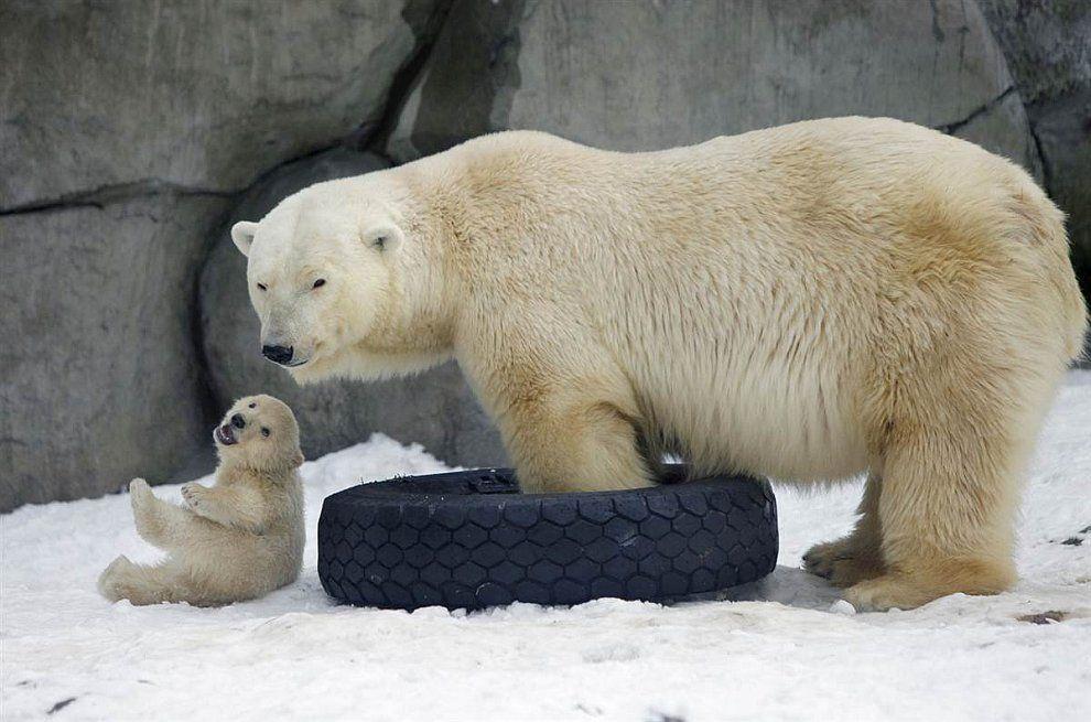 Картинки белые медведи прикольные картинки, днем