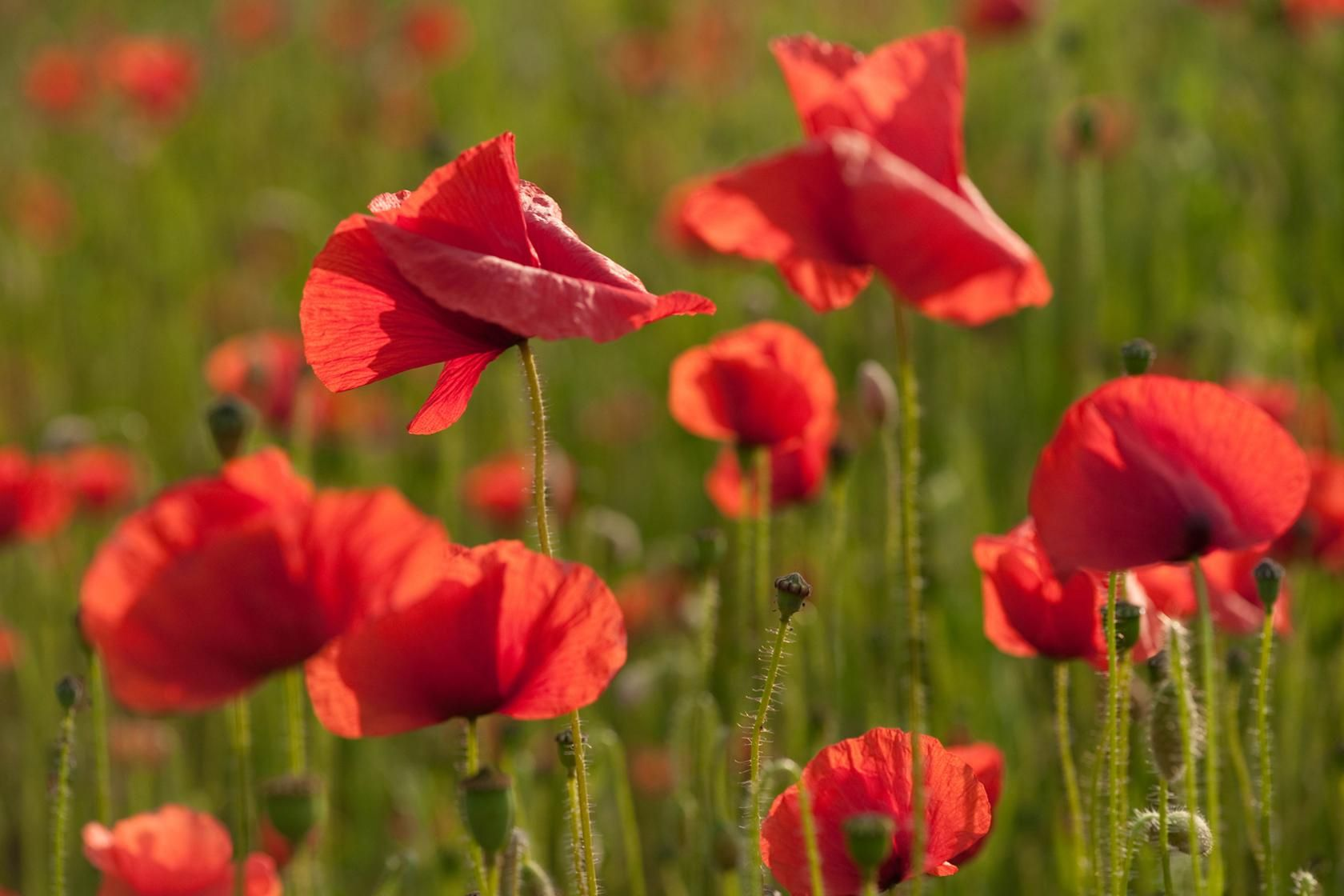 Corn Or Common Poppy Papaver Rhoeas Annual It Produces Lots Of