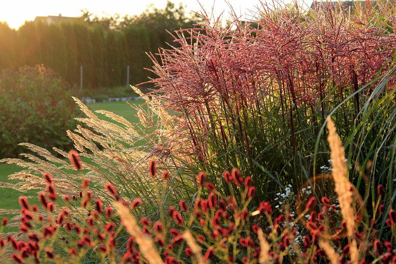 sanguisorba 39 red thunder 39 miscanthus sinensis 39 ferner. Black Bedroom Furniture Sets. Home Design Ideas
