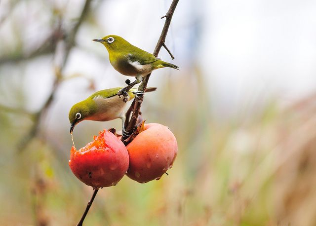 A pair of Japanese white-eye | Flickr - Photo Sharing!
