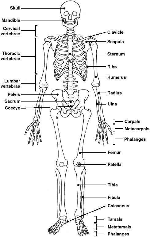 Diagram of the human skeleton | Kirsten  Nursing | Pinterest | Skeletal system, Anatomy and