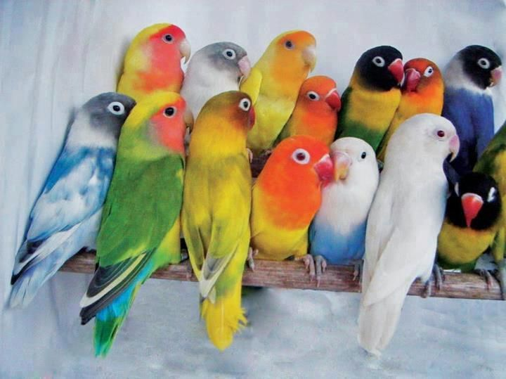 Great colour combinations in this gaggle of lovebirds.