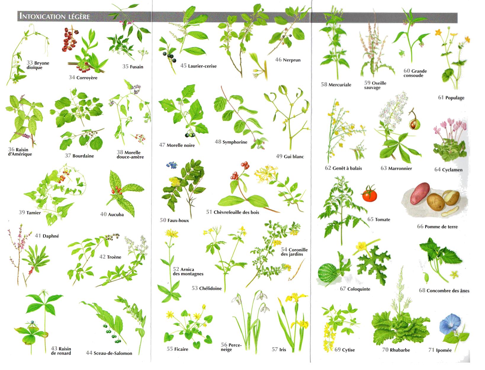 Planche des plantes toxiques plantes m dicinales pinterest plantes toxiques les plantes - Plantes non toxiques pour les chats ...