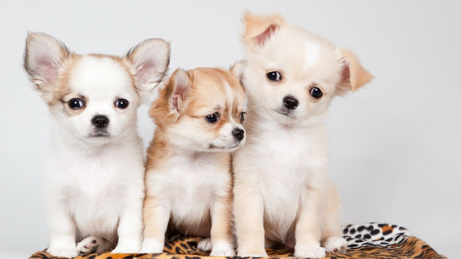 Wallpapers Cute Puppies Pictures Best Hd Wallpapers Cute Puppy Wallpaper Chihuahua Puppies