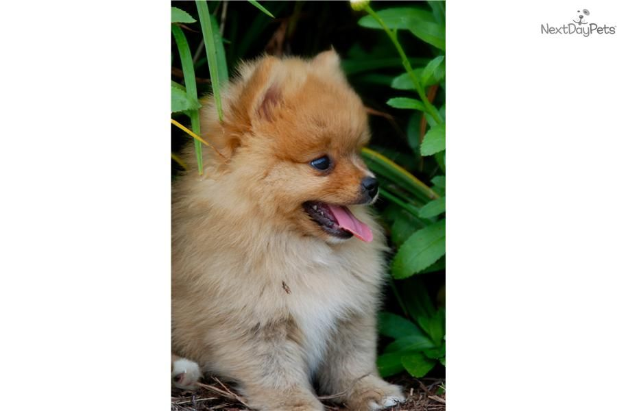 Baxter Indiana Pomeranian Puppy For Sale Cute Pomeranian