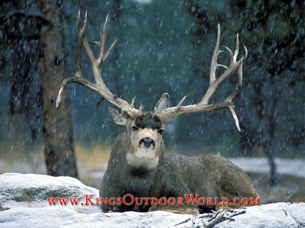 mule deer mule deer free wallpaper snow buck mule