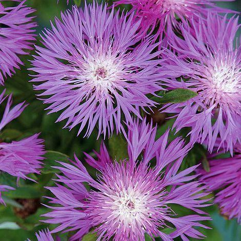 Centaurea dealbata | Thompson & Morgan