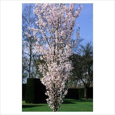 Prunus Hillieri Spire Fastigiate Cherry 20 X 8 Flowering Cherry Tree Big Plants Plant Photography