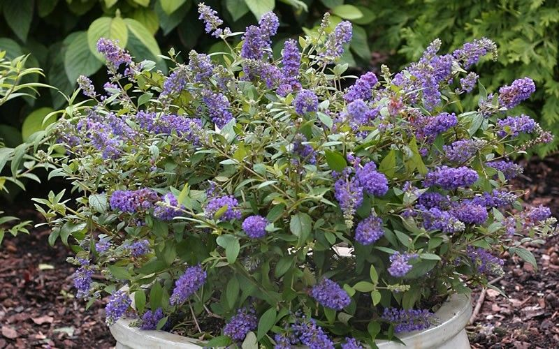 Close To What Our Butterfly Bush Looks Like But Smaller Dwarf Butterfly Bush Butterfly Bush Container Gardening