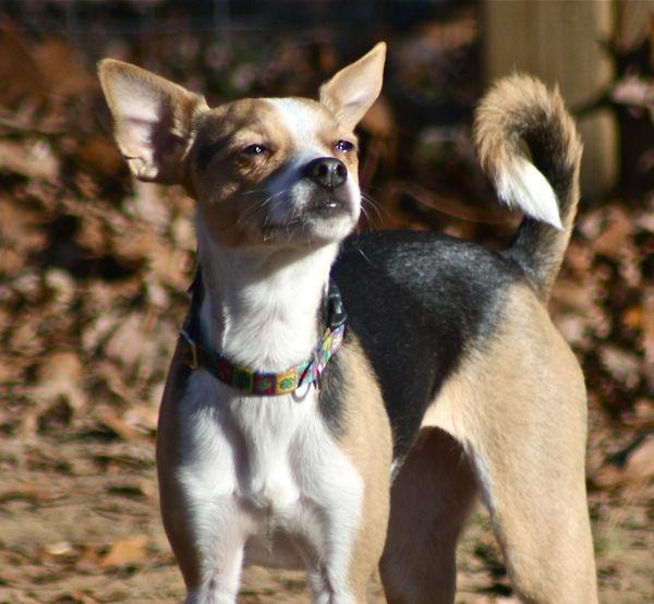 Ladybug My Chihuahua Rat Terrier Mix Rat Terrier Mix