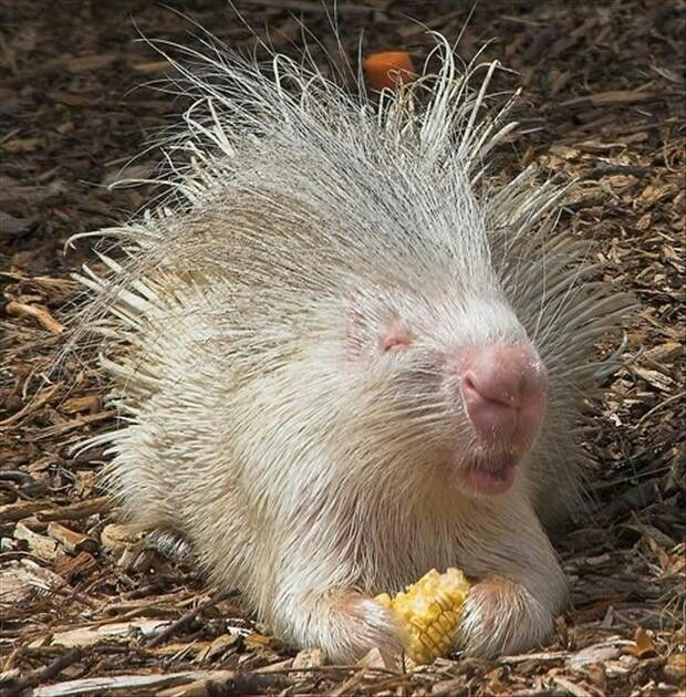 66 best Porcupines images on Pinterest | Wild animals, Animals and ...