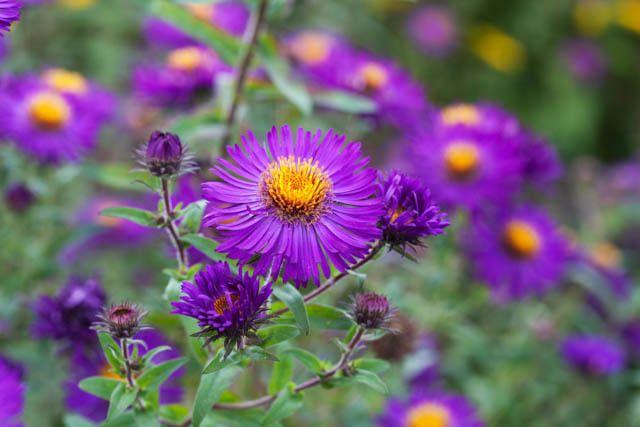 Aster Novae-Angliae 'Violetta', New England Aster 'Violetta', Michaelmas Daisy 'Violetta', Symphyotrichum Novae-Angliae 'Violetta', purple aster, violet aster