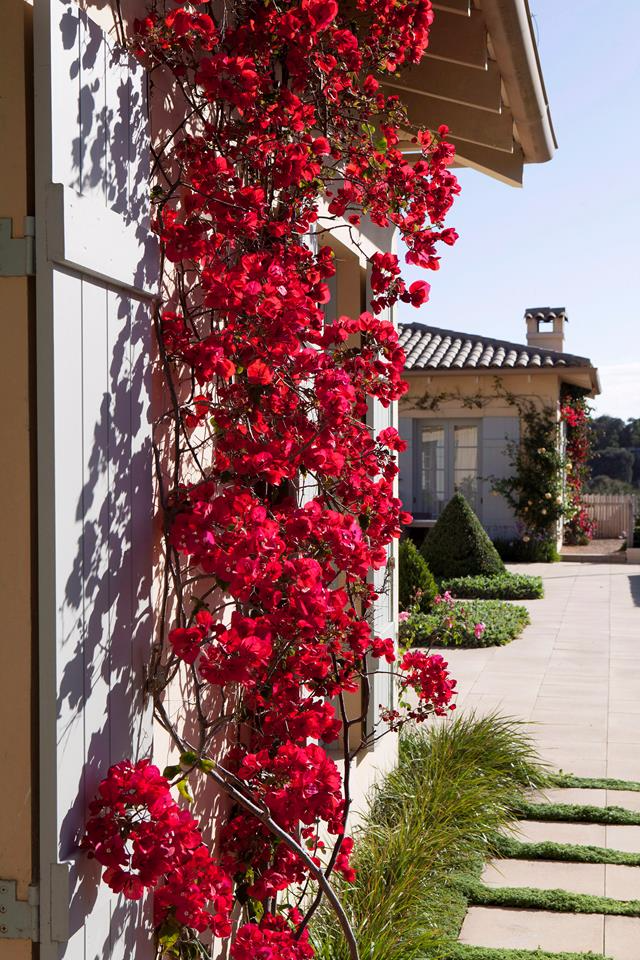 Bougainvillea Tips For Growing This Flowering Climber Bougainvillea Climber Flowering Growing In 2020 Trellis Plants Climbing Flowering Vines Wall Climbing Plants