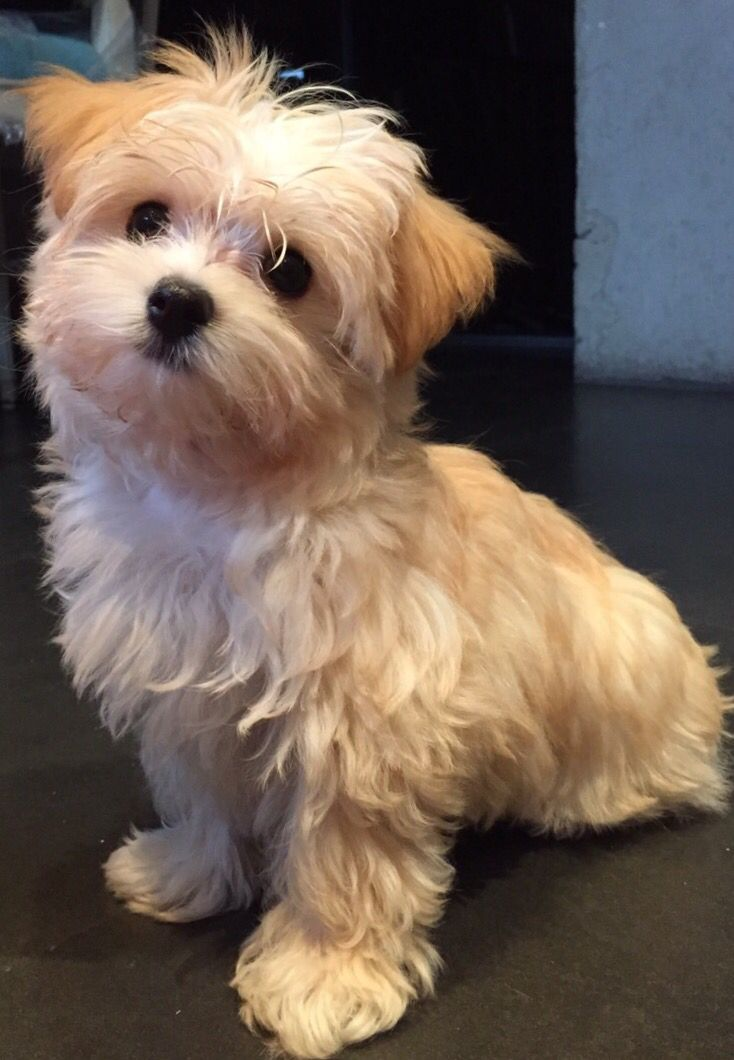 Morkie Time Morkie Puppies Morkie Dogs Cute Baby Animals