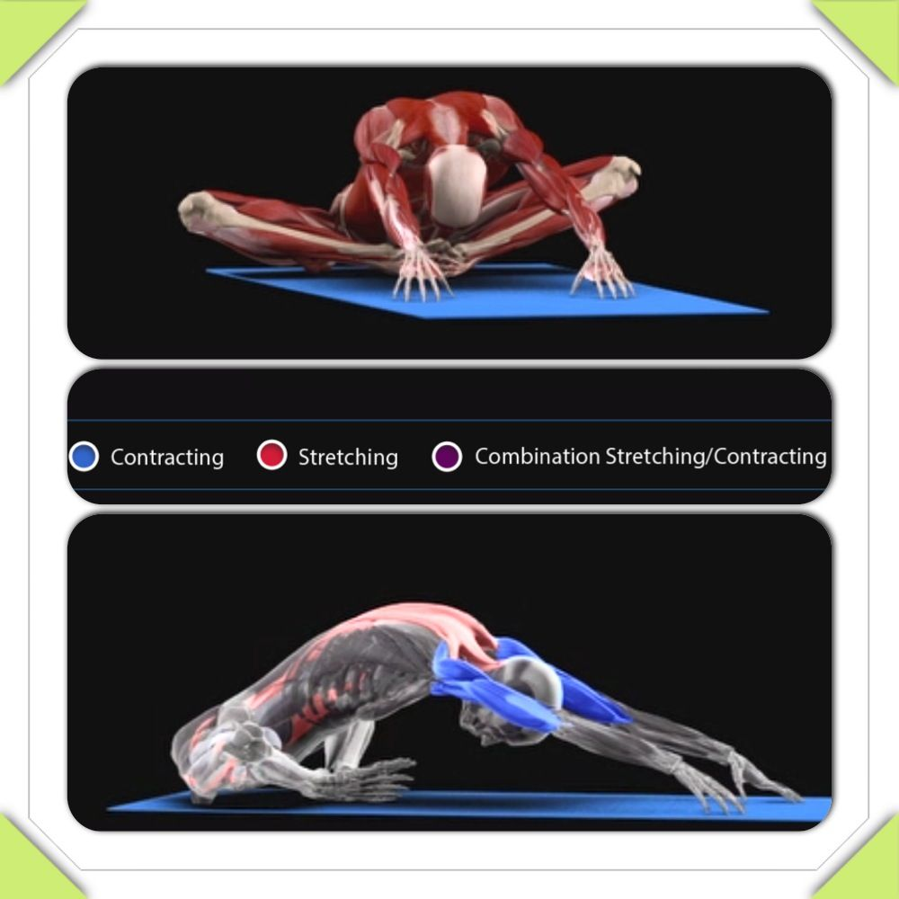 Discover which muscles are contracting stretching or a