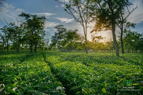 India S Best Tea Factory In Assam Tourist Places Tea