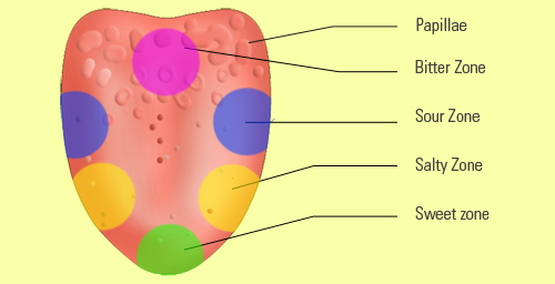 The Tongue Has Taste Buds Around The Papillae That Can Identify Five