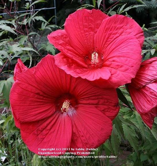 Hibiscus Fireball Hardy Hibiscus Plants Hibiscus