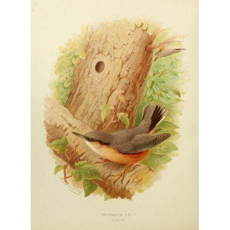 Birds of Britain & Ireland 1907 Nuthatch Canvas Art - Henrik Grnvold (18 x 24)