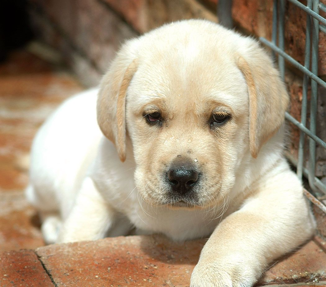 Kinds of labrador puppies