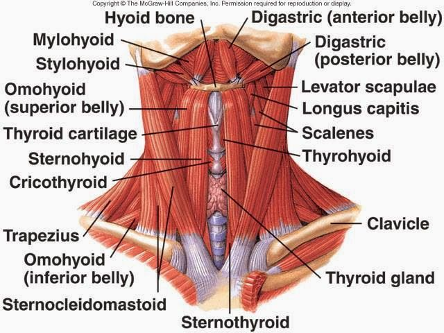 The Many Muscles Of The Neck Scm Is The V Shaped Muscles