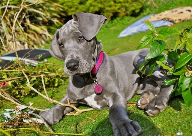Great Dane Dog Breed Information Great Dane Dogs Great Dane
