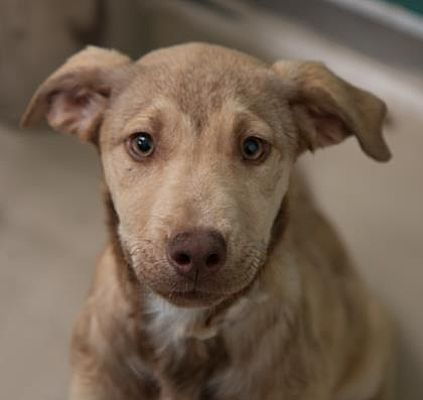 Bryan Tx Shepherd Unknown Type Vizsla Mix Meet Parsley A Puppy For Adoption Puppy Adoption Kitten Adoption Pets