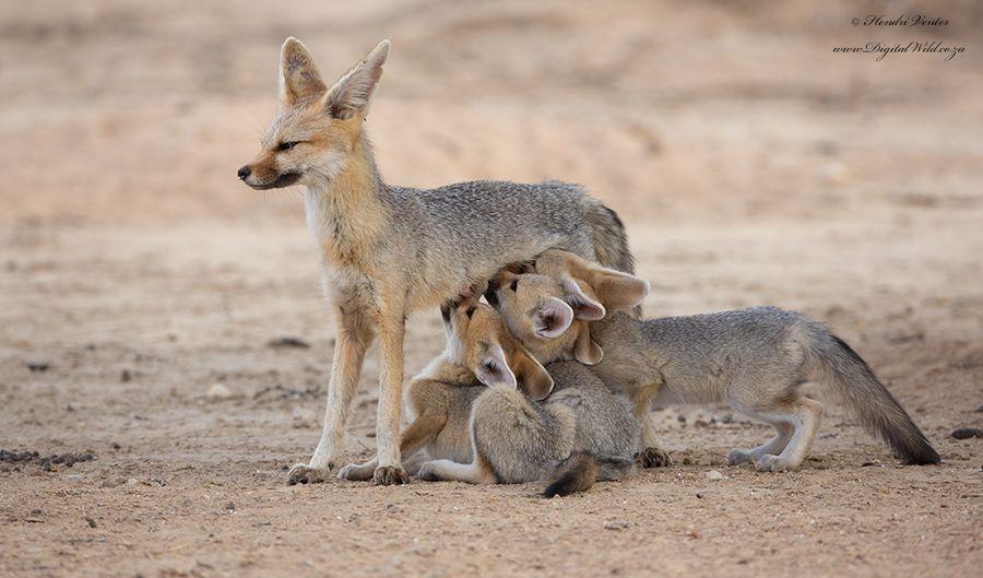 Cape fox momkalahari milk dispenser mother