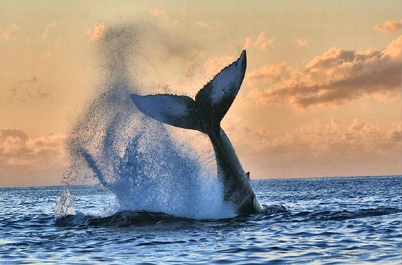Humpback-Whale Tail