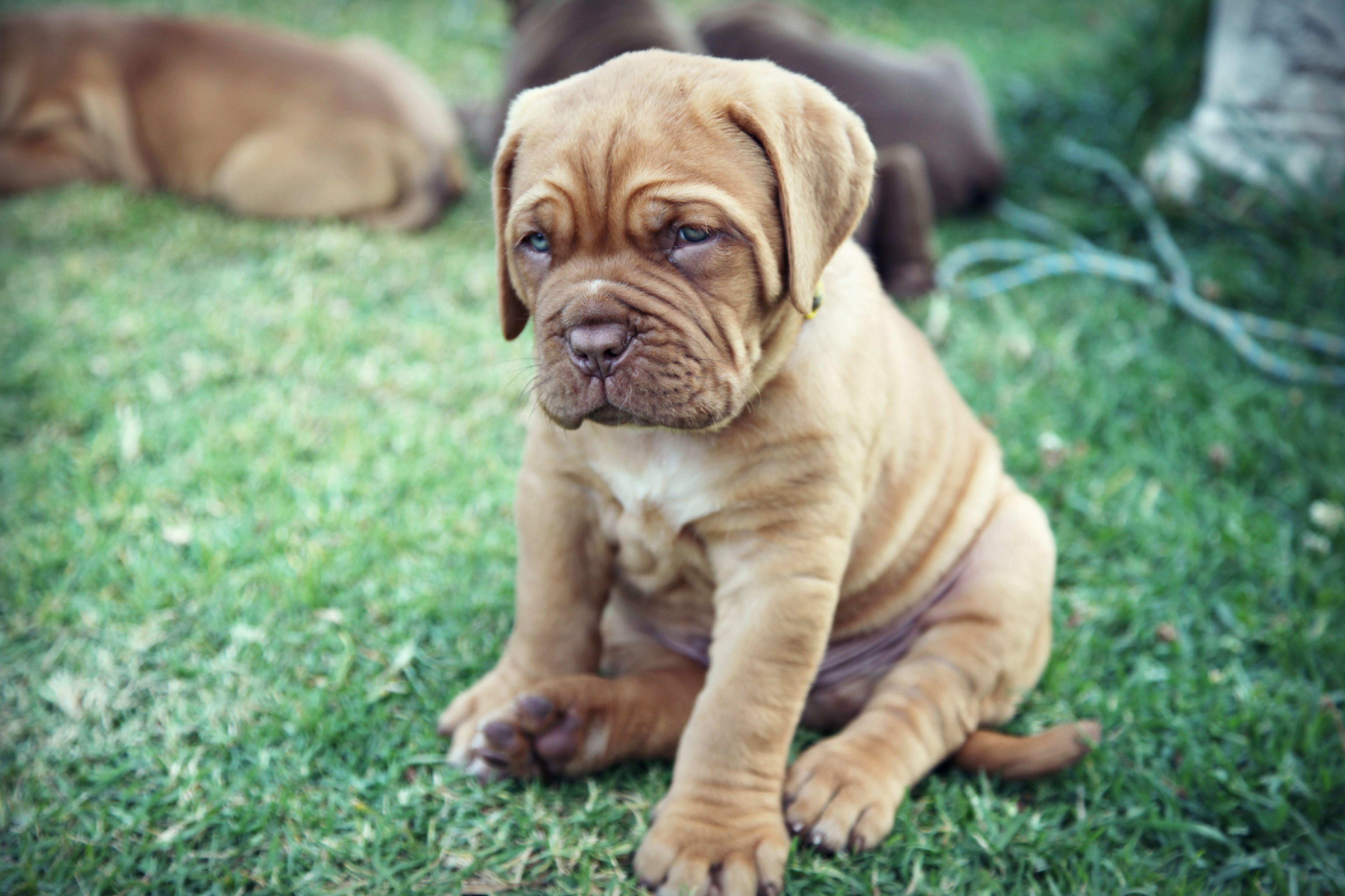 My Dogue De Bordeaux Pup Http Www Facebook Com Ultimatemastiff Bordeaux Dog French Mastiff Best Dog Breeds
