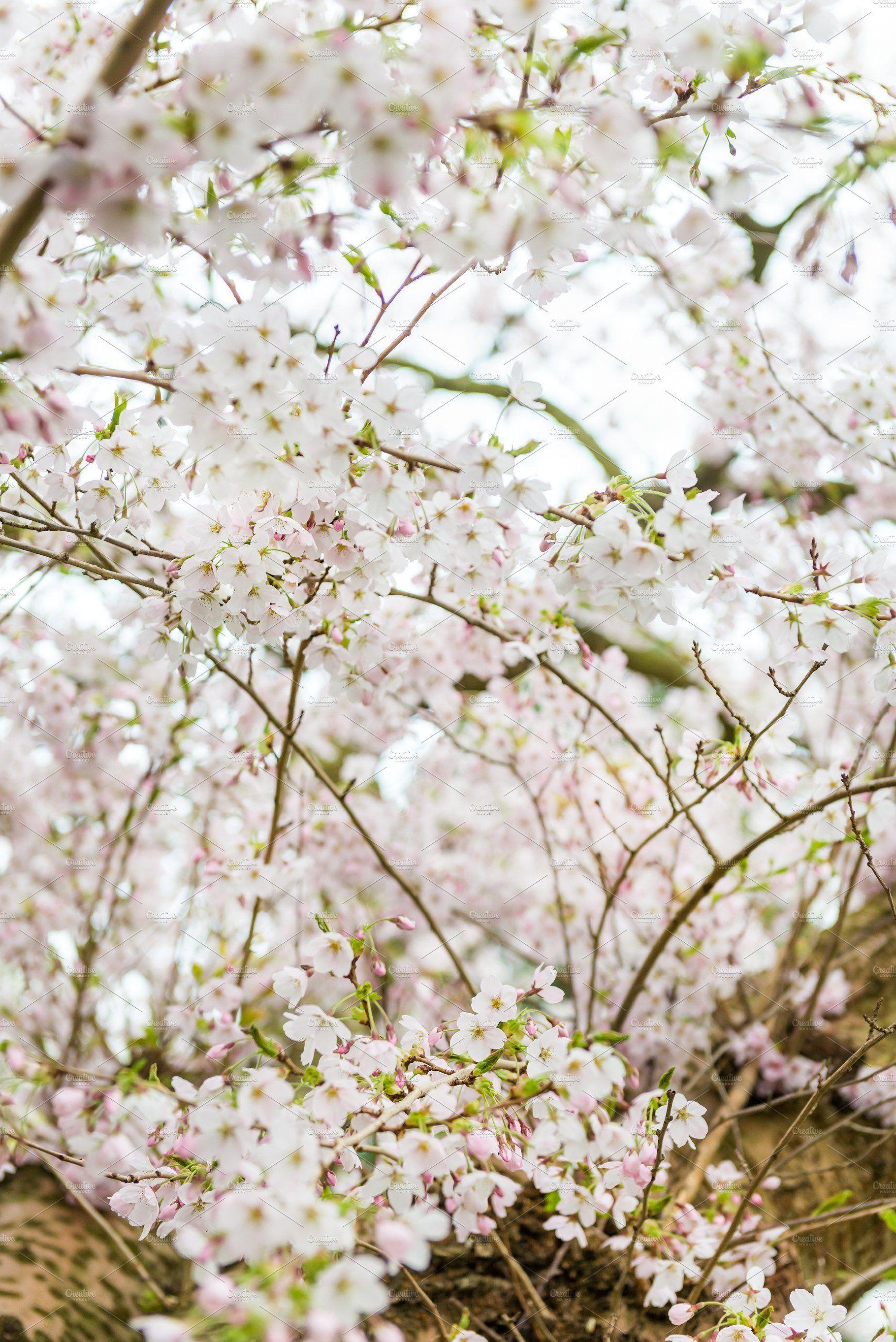White Flowers Cherry Blossom Tree Branch 720x1280 Wallpaper White Flowering Trees Blossom Trees Cherry Blossom Tree