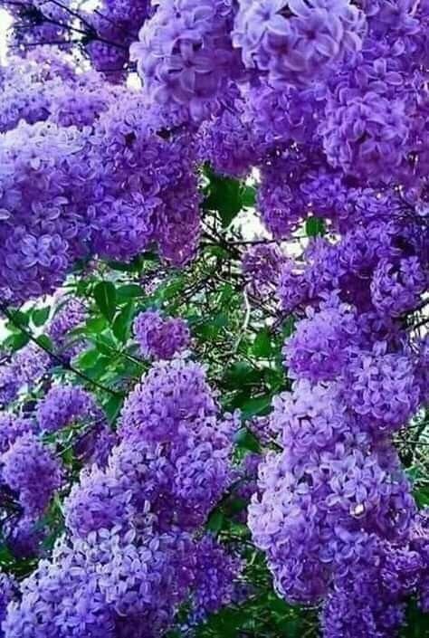 Todo Lila Amazing Flowers Flowering Trees Purple Flowering Tree
