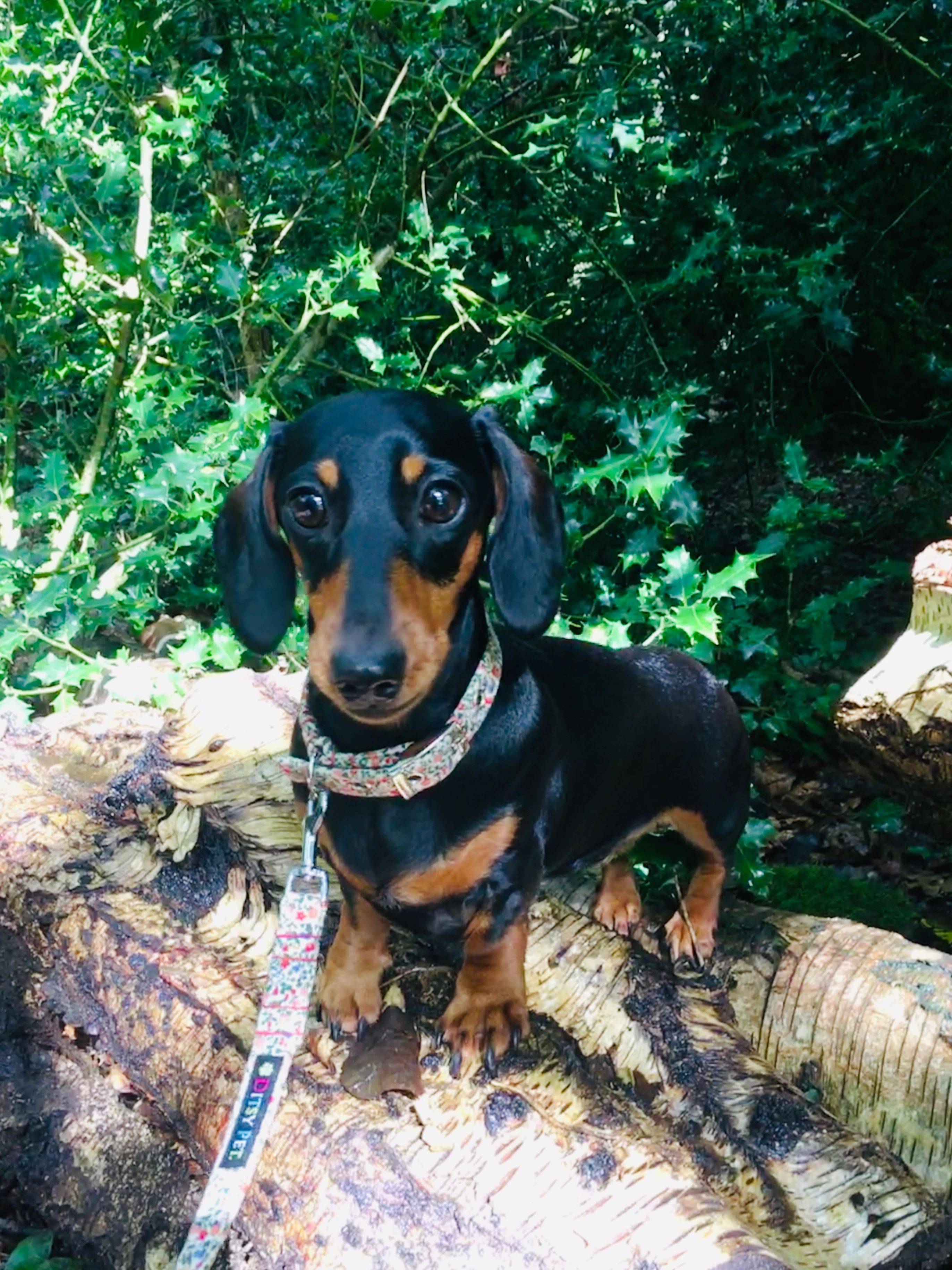 Pin By Victoria Luckman On Darcy Dachshund Dogs Dachshund