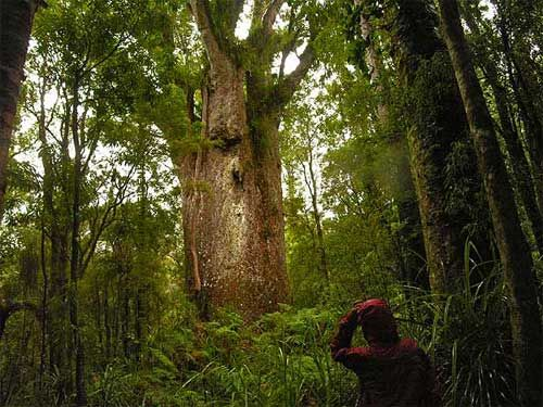 god of the forest, Te Matua Ngahere