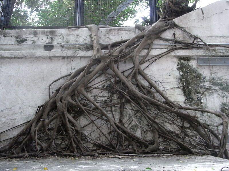 TreeRootsAndSidewalks.jpg (800×600) Tree roots