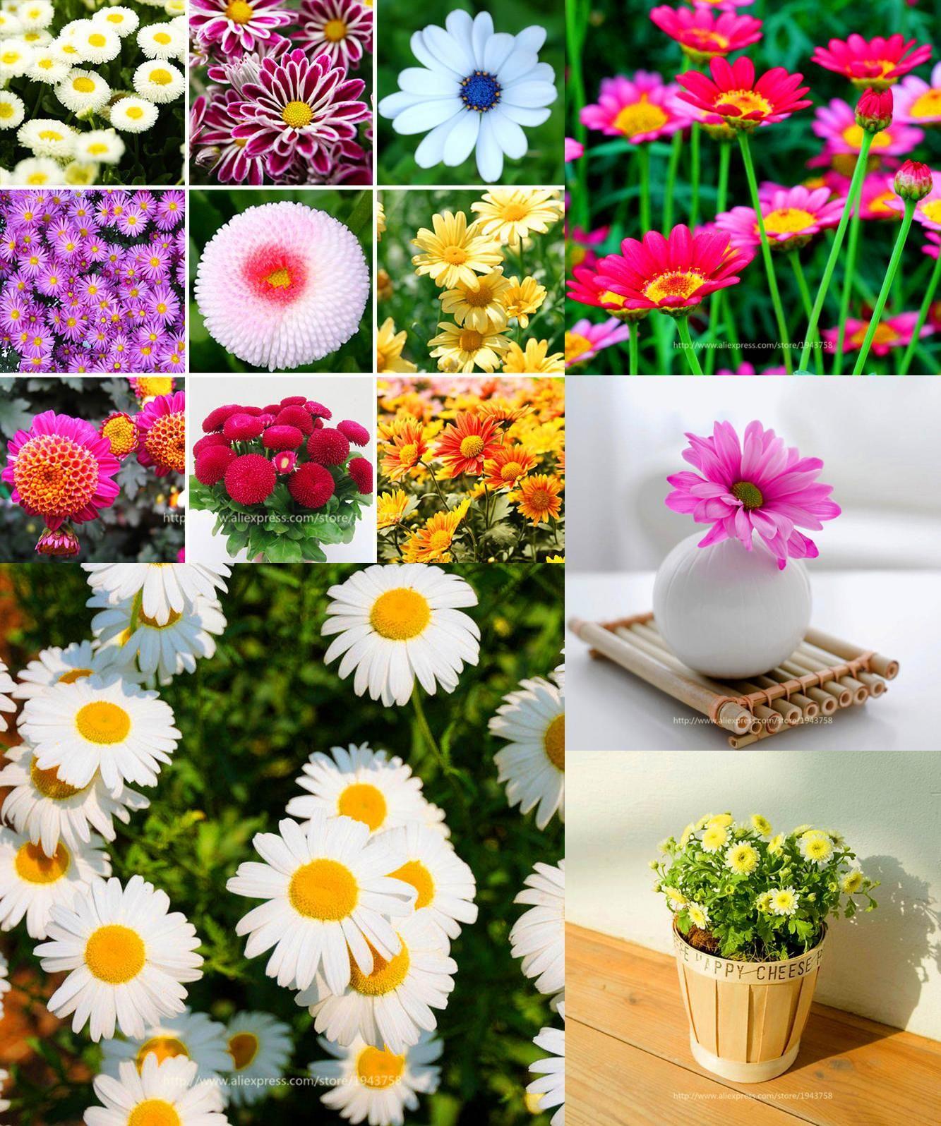 Visit To Buy 100pcs Daisy Flower Seed Packet Of Vanilla Ice Cream