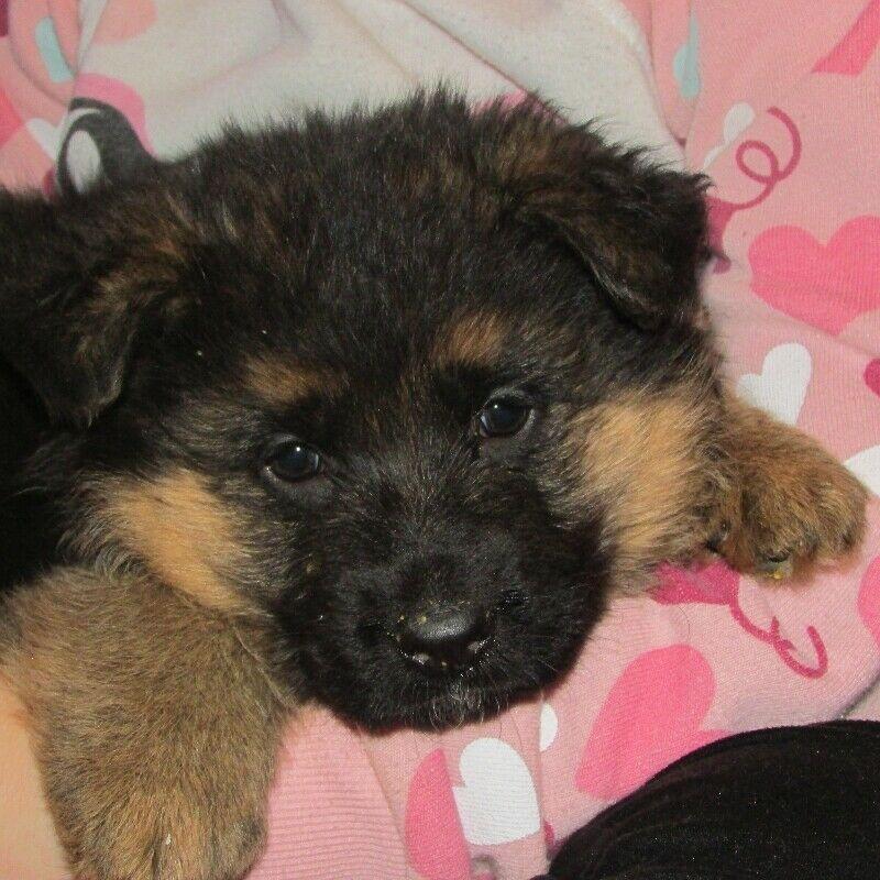 Listing Item Dog Breeder Puppies Pet Ownership