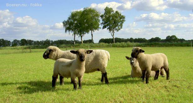 Hampshire Down Sheep Hampshire Sheep Sheep Farm Sheep And Lamb