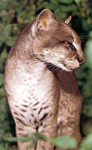 African Golden Cat | Profelis aurata