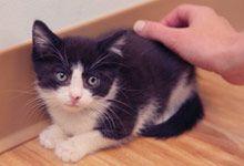 Socializing Feral Kittens Socialized Cat Guide Alley Cat