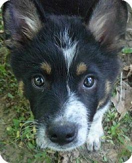 Adoptable Puppy Australian Cattle Dog Austrailian Cattle Dog Cattle Dogs Mix Pets