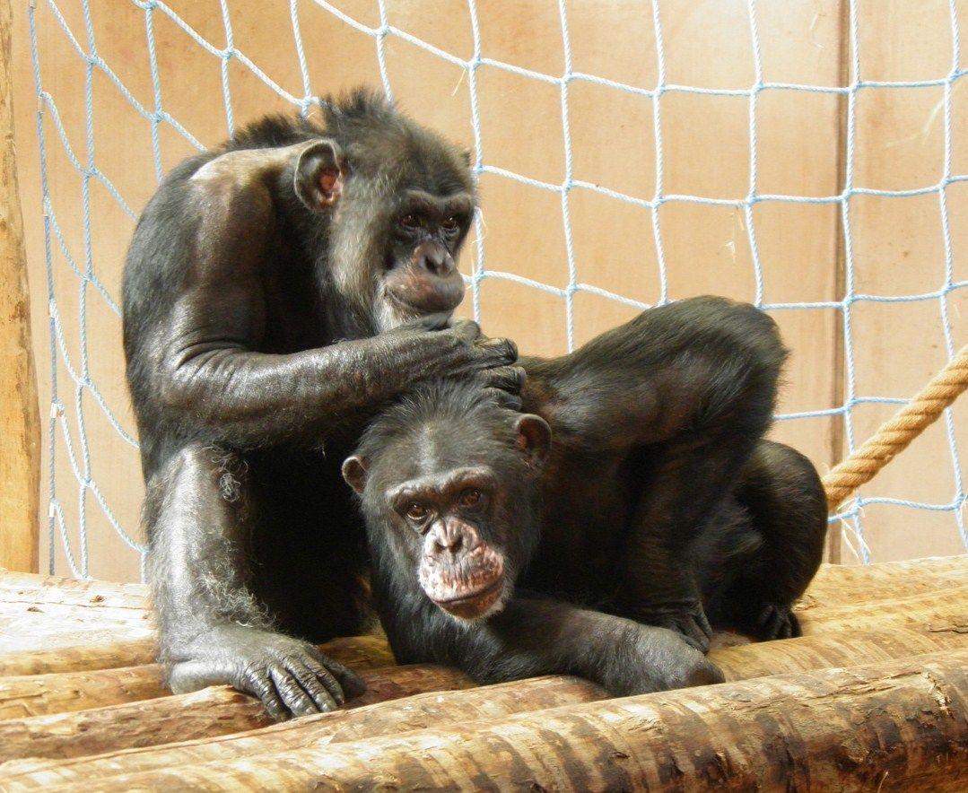 Gut Aiderbichl Ganserndorf A Laboratoriumi Csimpanzok Europai