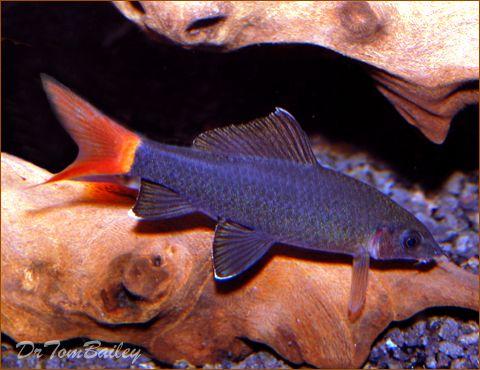 2 Red Tail Sharks Goldfish For Sale Fish Pet Aquarium Fish